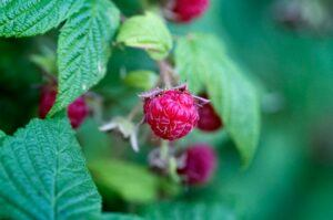red-raspberry-leaf